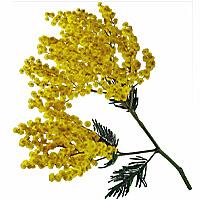 Mimosa Amulette purification spiritualité