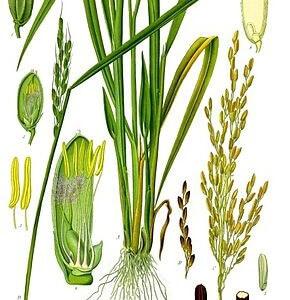 Poudre ritualisée riz