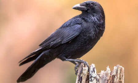 corbeau animal totem animal de pouvoir alchimique